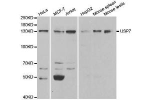 Image no. 3 for anti-Ubiquitin Specific Peptidase 7 (Herpes Virus-Associated) (USP7) antibody (ABIN3023238)