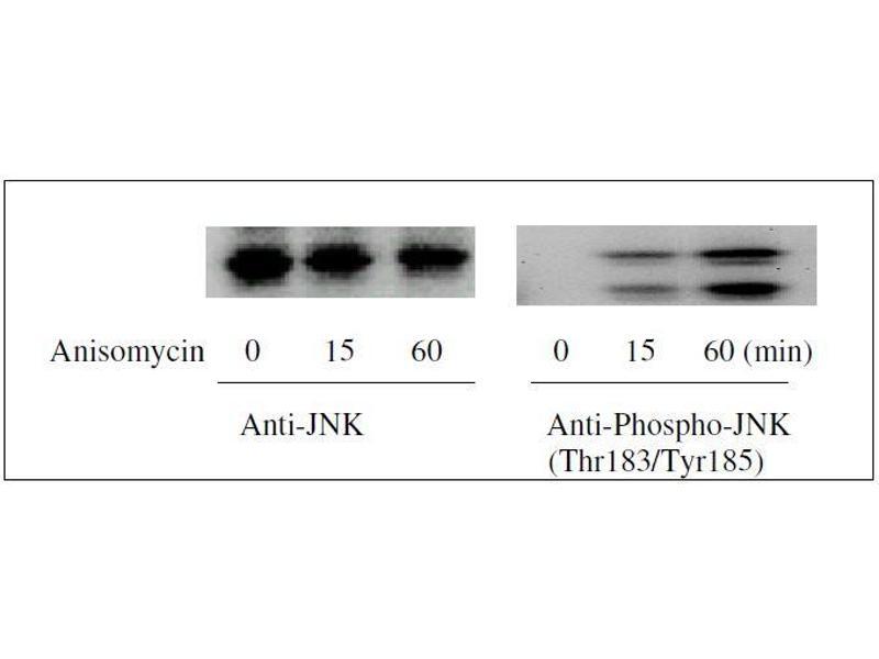 Western Blotting (WB) image for ERK1/2, JNK, p38 MAPK ELISA Kit (ABIN1981832)