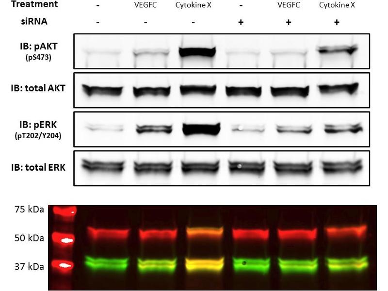 Western Blotting (WB) image for Goat anti-Rabbit IgG (Heavy & Light Chain) antibody (IRDye800CW) (ABIN2169623)