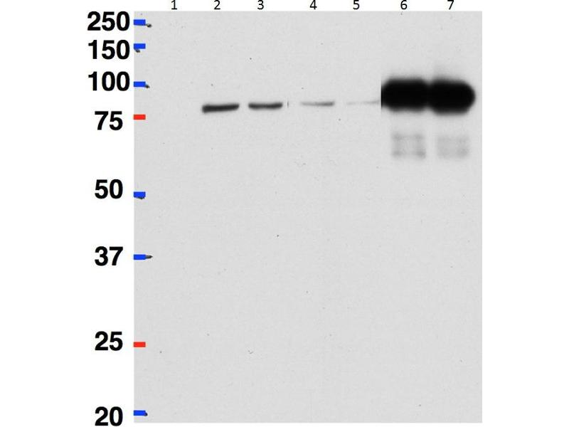 Image no. 2 for anti-BetaCstF-64 Variant 1/3 (Internal Region) antibody (ABIN2561401)