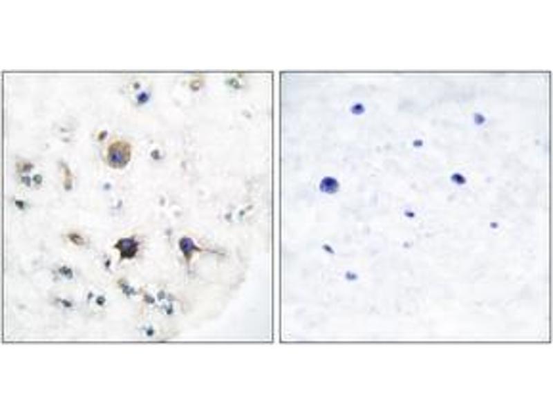 Immunohistochemistry (IHC) image for anti-Ephrin B3 (EFNB3) (AA 221-270) antibody (ABIN1533263)