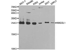Image no. 1 for anti-MAD2 Mitotic Arrest Deficient-Like 1 (Yeast) (MAD2L1) antibody (ABIN6143420)