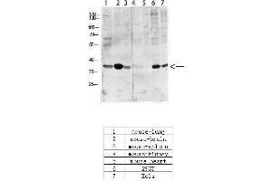 Image no. 4 for anti-cAMP Responsive Element Binding Protein 1 (CREB1) (pSer133) antibody (ABIN3181974)