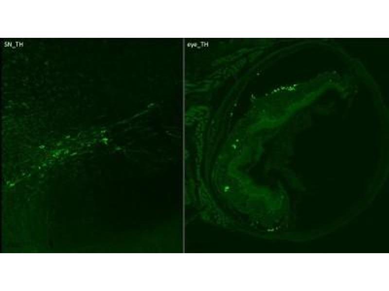 Immunocytochemistry (ICC) image for anti-tyrosine Hydroxylase (TH) antibody (ABIN152458)
