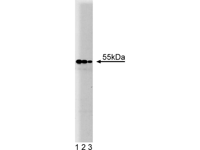 Western Blotting (WB) image for anti-PDI antibody (Prolyl 4-Hydroxylase, beta Polypeptide) (AA 109-214) (ABIN968268)