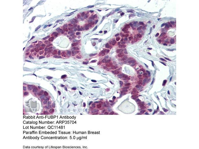Image no. 1 for anti-Far Upstream Element (FUSE) Binding Protein 1 (FUBP1) (Middle Region) antibody (ABIN2776409)