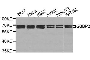 Image no. 1 for anti-GTPase Activating Protein (SH3 Domain) Binding Protein 2 (G3BP2) antibody (ABIN1877055)