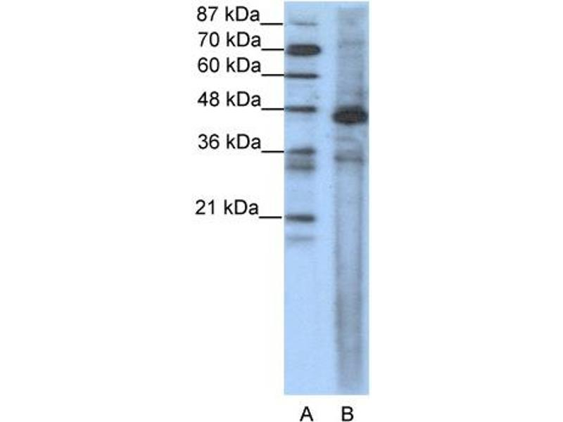 Western Blotting (WB) image for anti-SRF (N-Term) antibody (ABIN2774664)