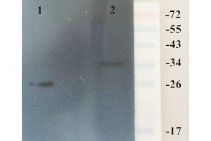 Western Blotting (WB) image for anti-HMGB1 antibody (High-Mobility Group Box 1) (ABIN2506663)