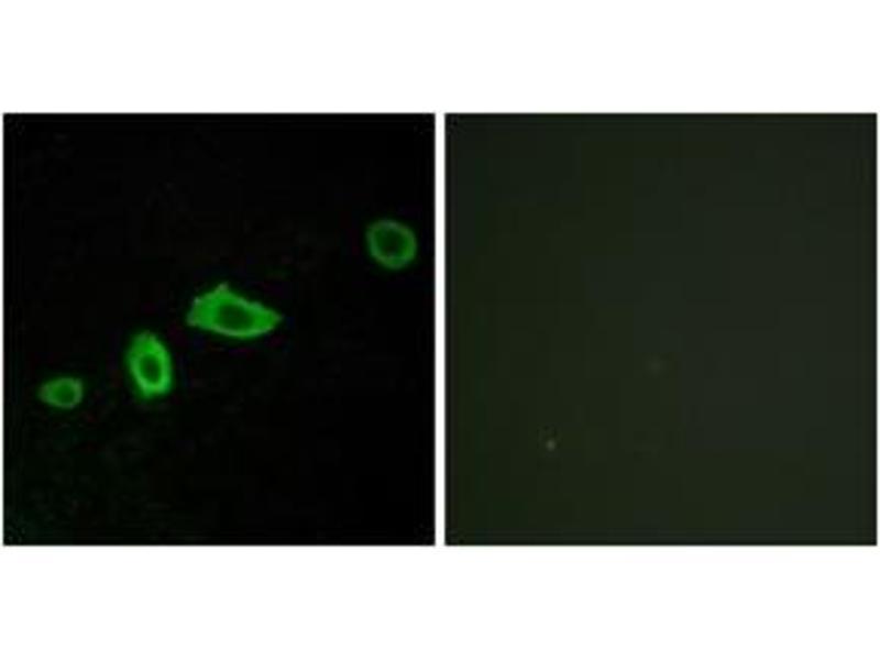 Immunofluorescence (IF) image for anti-Serotonin Receptor 5A (HTR5A) (AA 15-64) antibody (ABIN1535556)