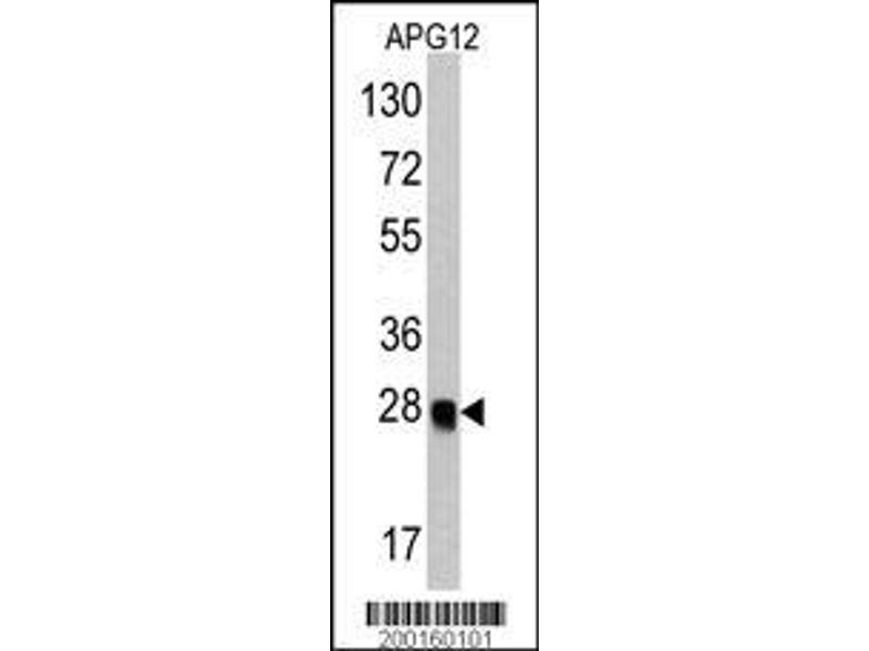 Western Blotting (WB) image for anti-Autophagy Related 12 (ATG12) antibody (ABIN387794)