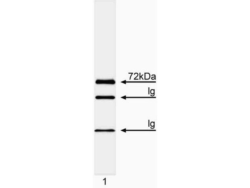 Western Blotting (WB) image for anti-IL2-Inducible T-Cell Kinase (ITK) (AA 1-26) antibody (ABIN967287)