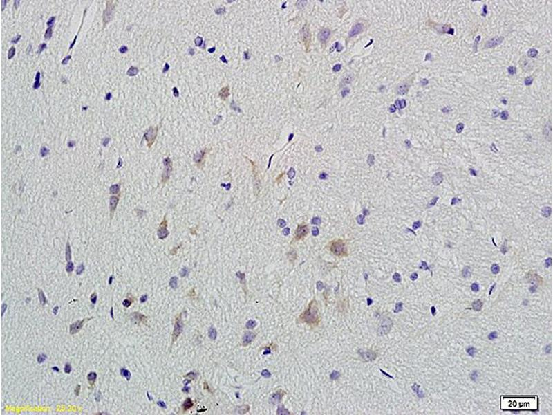 Immunohistochemistry (IHC) image for anti-Calcium/calmodulin-Dependent Protein Kinase II gamma (CAMK2G) (AA 275-290), (pThr287) antibody (ABIN732473)