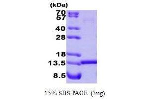 Image no. 1 for Histidine Triad Nucleotide Binding Protein 1 (HINT1) (AA 1-126) protein (ABIN935039)