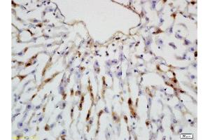 Immunohistochemistry (Paraffin-embedded Sections) (IHC (p)) image for anti-Leptin Receptor antibody (LEPR) (AA 905-942) (ABIN725060)