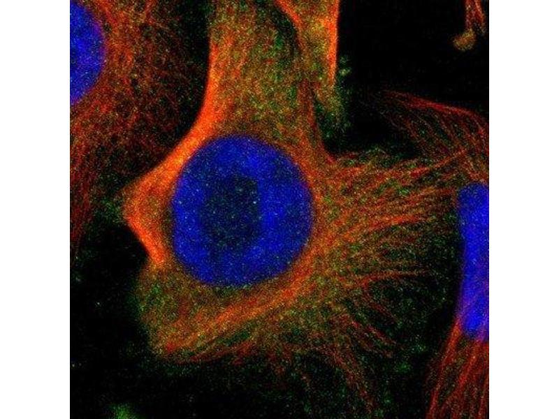 Immunofluorescence (IF) image for anti-rho Guanine Nucleotide Exchange Factor (GEF) 6 (ARHGEF6) antibody (ABIN4281559)