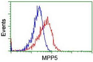 Image no. 4 for anti-Membrane Protein, Palmitoylated 5 (MAGUK P55 Subfamily Member 5) (MPP5) antibody (ABIN1500023)