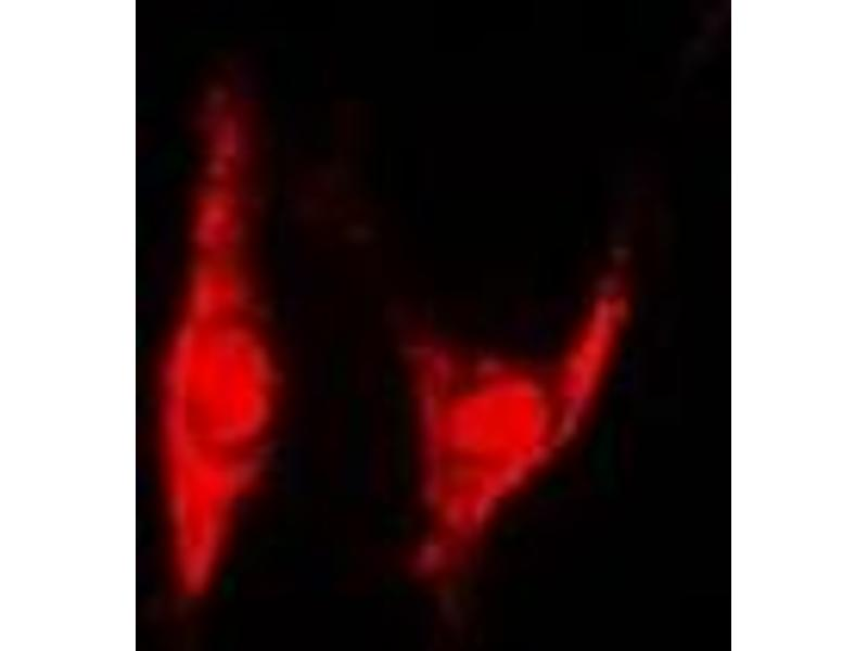 Immunofluorescence (IF) image for anti-Proteasome (Prosome, Macropain) 26S Subunit, Non-ATPase, 8 (PSMD8) antibody (ABIN2966954)