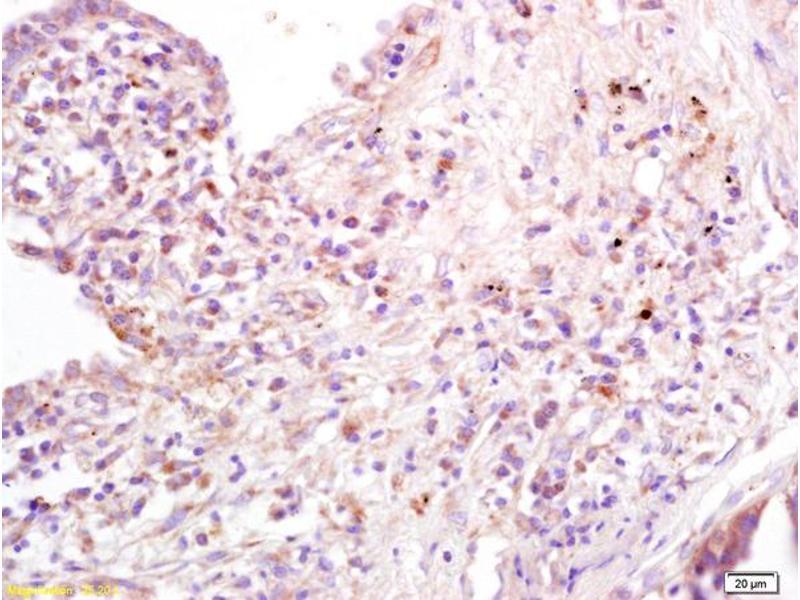 Immunohistochemistry (IHC) image for anti-CD80 antibody (CD80) (AA 270-321) (ABIN678683)