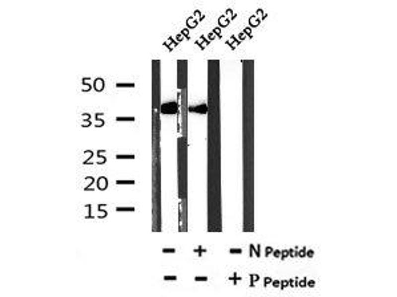 Image no. 2 for anti-Annexin A2 (ANXA2) (pTyr24) antibody (ABIN6269609)