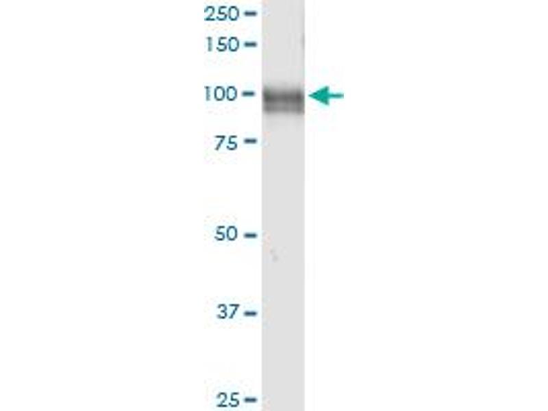 Immunoprecipitation (IP) image for anti-Membrane Metallo-Endopeptidase (MME) (AA 1-750), (full length) antibody (ABIN948133)