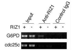 Image no. 2 for anti-PR Domain Containing 2, with ZNF Domain (PRDM2) (AA 1-347) antibody (ABIN3032300)