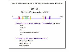 Image no. 3 for anti-Zinc Finger Protein 148 (ZNF148) antibody (ABIN117932)