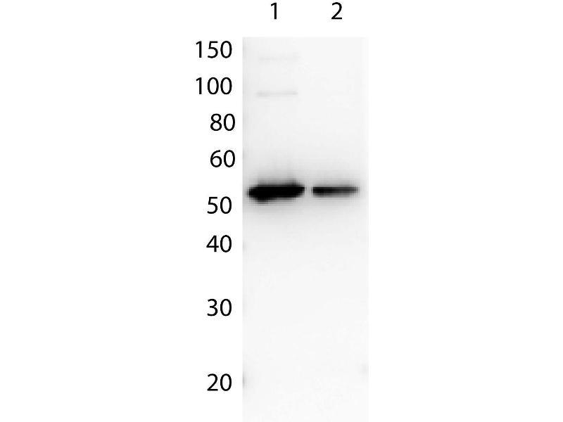 Western Blotting (WB) image for anti-DYKDDDDK Tag antibody (ABIN99294)