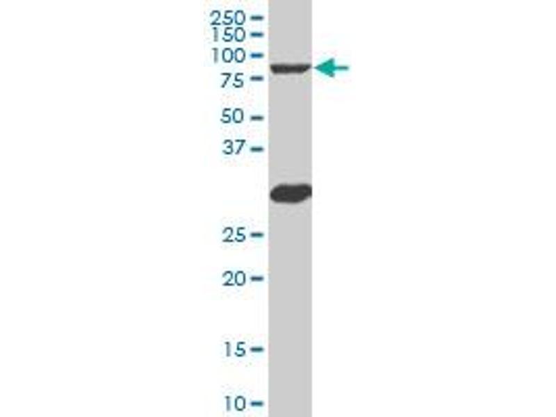 Image no. 1 for anti-V-Myb Myeloblastosis Viral Oncogene Homolog (Avian)-Like 2 (MYBL2) (AA 601-700) antibody (ABIN518124)