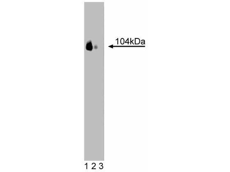 Western Blotting (WB) image for anti-NRP2 antibody (Neuropilin 2) (AA 610-721) (ABIN968443)