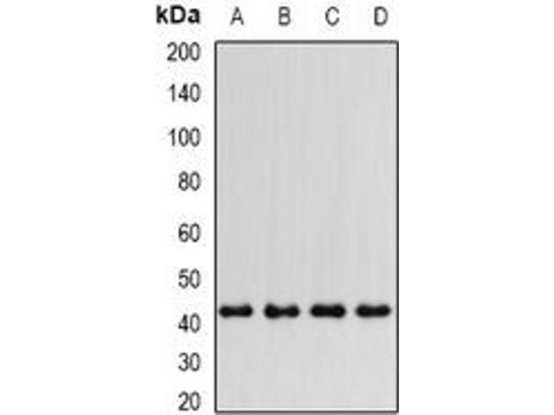 Western Blotting (WB) image for anti-Prostaglandin E Synthase 2 (PTGES2) antibody (ABIN2966958)