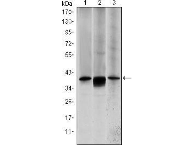 Western Blotting (WB) image for anti-MAP2K6 antibody (Mitogen-Activated Protein Kinase Kinase 6) (ABIN969270)