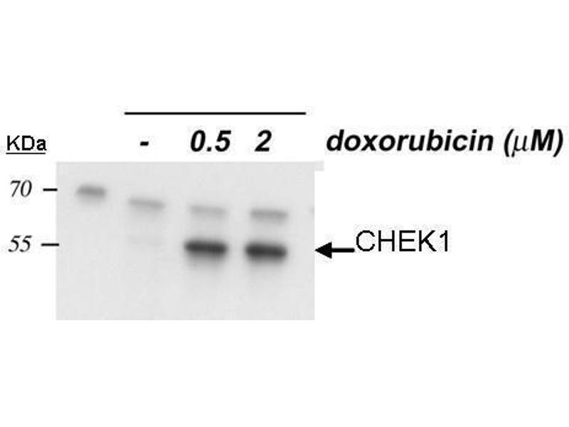 Western Blotting (WB) image for anti-CHEK1 antibody (Checkpoint Kinase 1) (Internal Region) (ABIN2857048)