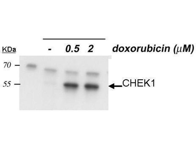 Western Blotting (WB) image for anti-Checkpoint Kinase 1 (CHEK1) (Internal Region), (pSer345) antibody (ABIN2857048)
