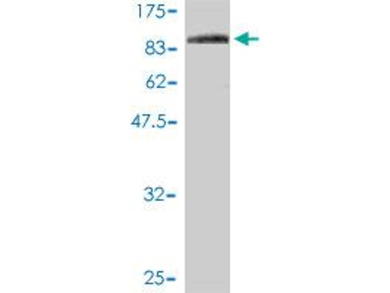 Image no. 1 for anti-F11 Receptor (F11R) (AA 1-299) antibody (ABIN565503)