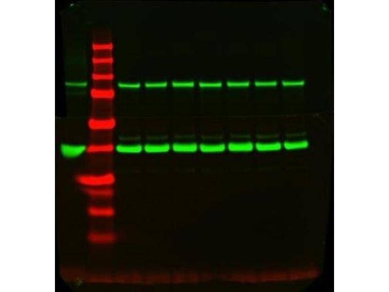 Western Blotting (WB) image for anti-GAPDH antibody (Glyceraldehyde-3-Phosphate Dehydrogenase) (ABIN152561)