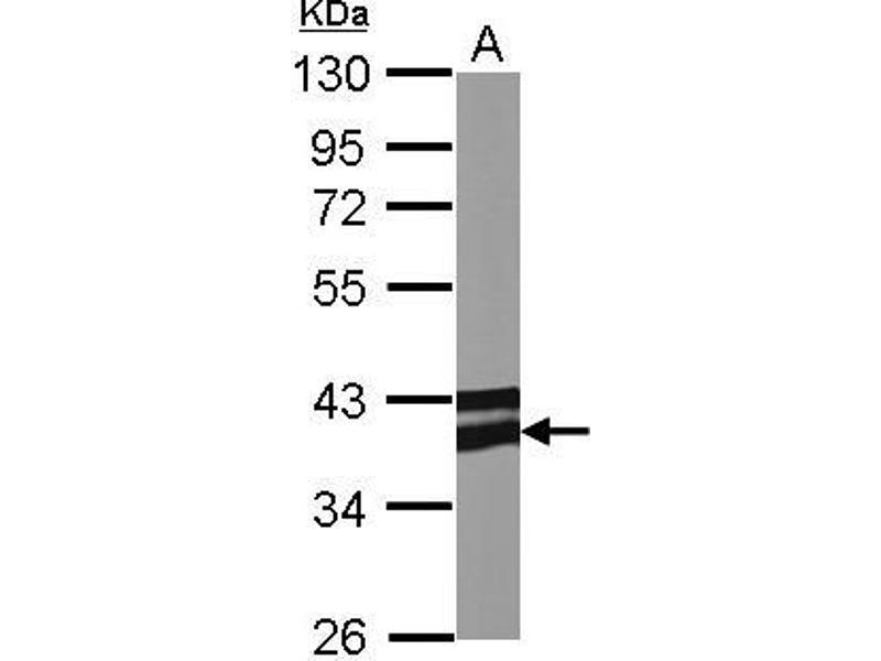 Western Blotting (WB) image for anti-Adiponectin Receptor 1 (ADIPOR1) (C-Term) antibody (ABIN2855945)