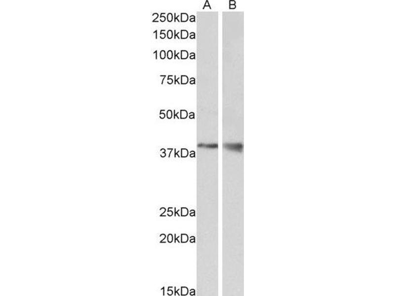 Western Blotting (WB) image for anti-WNT9B antibody (Wingless-Type MMTV Integration Site Family, Member 9B) (Internal Region) (ABIN2560782)