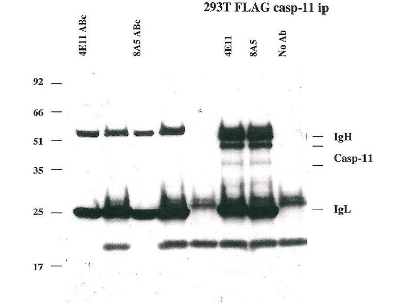 Immunoprecipitation (IP) image for anti-Caspase 4, Apoptosis-Related Cysteine Peptidase (CASP4) antibody (ABIN2745523)
