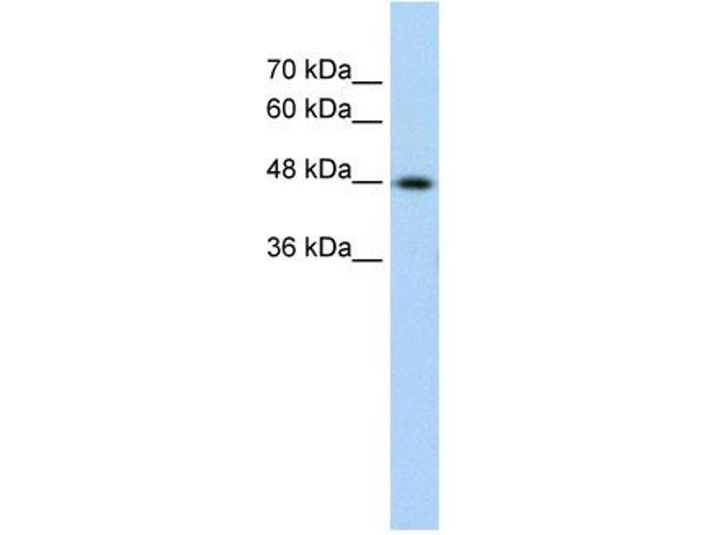 Western Blotting (WB) image for anti-Keratin 17 (KRT17) (C-Term) antibody (ABIN310213)