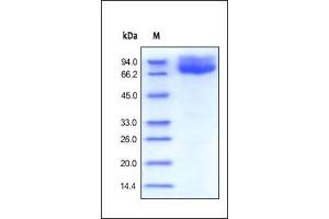 Image no. 1 for CD86 Molecule (CD86) (AA 26-247) (Active) protein (Fc Tag) (ABIN2180621)