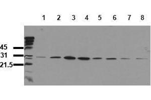 Western Blotting (WB) image for anti-Heat Shock 27kDa Protein 1 (HSPB1) (pSer82) antibody (ABIN126812)