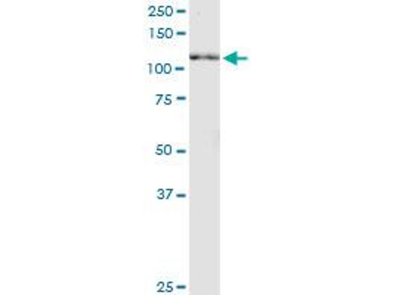 Western Blotting (WB) image for anti-Neuregulin 2 (NRG2) (AA 116-215), (partial) antibody (ABIN564118)
