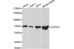 Image no. 2 for anti-Heat Shock 70kDa Protein 1-Like (HSPA1L) antibody (ABIN3022635)