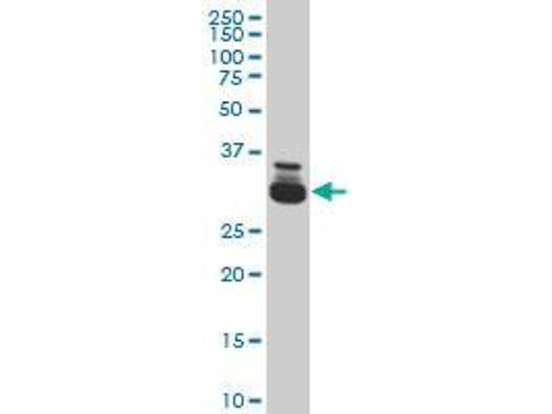 Immunohistochemistry (IHC) image for anti-TAF11 antibody (TATA Box Binding Protein Associated Factor 11) (AA 158-211) (ABIN394309)