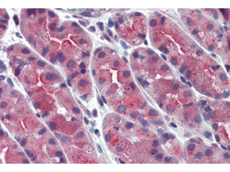 Immunohistochemistry (IHC) image for anti-Endoplasmic Reticulum Protein 44 (ERP44) (Internal Region) antibody (ABIN1048579)