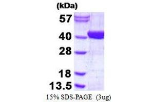 Image no. 1 for ADP-Ribosylhydrolase Like 2 (ADPRHL2) protein (His tag) (ABIN1098359)