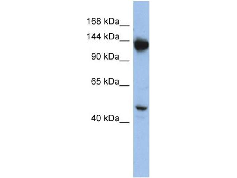 Image no. 1 for anti-Nardilysin (N-Arginine Dibasic Convertase) (NRD1) (Middle Region) antibody (ABIN2787813)