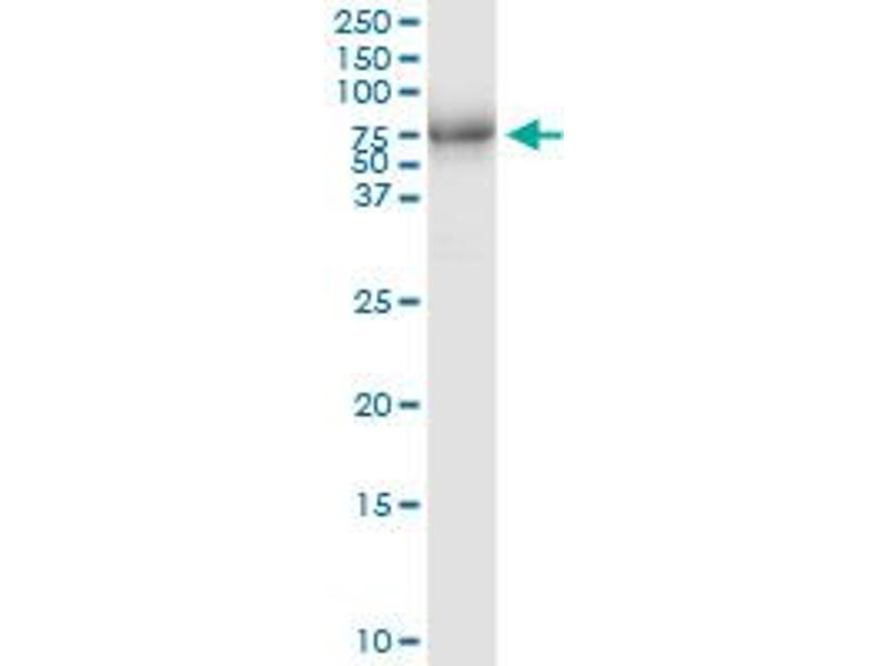 Immunoprecipitation (IP) image for anti-Mitogen-Activated Protein Kinase-Activated Protein Kinase 5 (MAPKAPK5) (AA 1-471), (full length) antibody (ABIN948701)