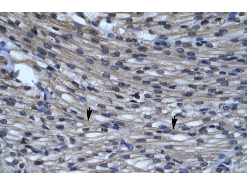 Immunohistochemistry (IHC) image for anti-Chloride Intracellular Channel 5 (CLIC5) (C-Term) antibody (ABIN2776219)